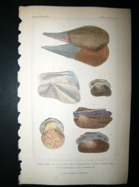 Cuvier C1835 Antique Hand Col Print. Shells #33